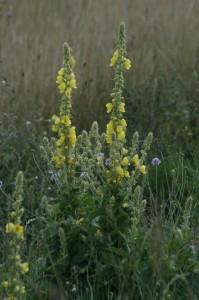 Verbascum phlomoides - lučnik 01