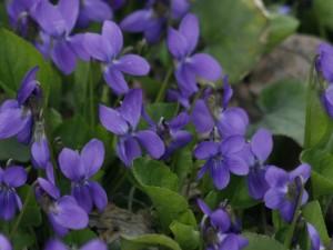 Viola odorata - dišeča vijolica 06