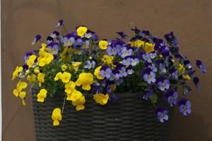 Viola sp. - vijolica 01