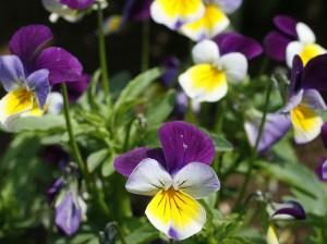 Viola tricolor - vijolica 01