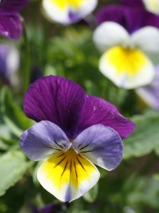 Viola tricolor - vijolica 02