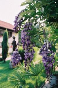 Wisteria sinensis - glicinija 03