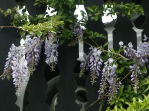 Wisteria sinensis - glicinija 05
